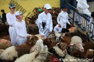 The children watch the sheep